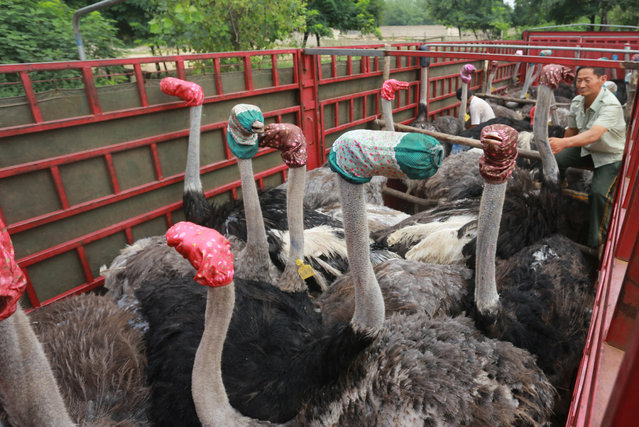 Ostriches wear masks as they are transported by a truck for relocation in Zhengzhou, Henan Province, China, August 8, 2016. (Photo by Reuters/Stringer)