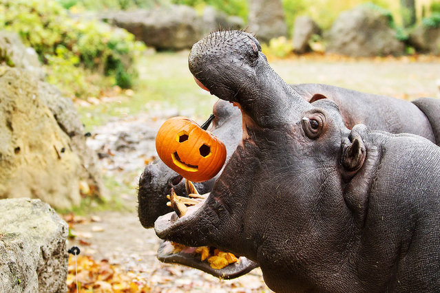 Pumpkins for example at the world's oldest zoo in the grounds of the Imperial Schönbrunn Palace in the Austrian capital Vienna, artistically carved pumpkins are being snapped up by the zoo animals who clearly seem to welcome the variety and are put off by the scary faces. (Photo by Daniel Zupanc/EuroPics/Schönbrunn Zoo)