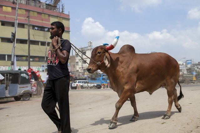 Bangladeshi muslims purchase cattle to sacrifice them for upcoming festival Eid Al-Adha  in Dhaka, Bangladesh on September 09, 2016. Muslims in Bangladesh will celebrate the Eid-ul-Azha, the second most important festival in the Islamic calendar, with prayers and the ritual sacrifice of animals. (Photo by Zakir Hossain Chowdhury/Anadolu Agency/Getty Images)