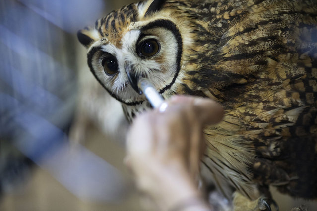 The veterinarian and environmentalist Grecia Marquis uses a syringe to give water to an owl at the Feathers and Tails in Freedom foundation, in Caracas, Venezuela, Monday, September 21, 2020. The owl who was found two months ago with a wing injury is now recovering after surgery. (Photo by Ariana Cubillos/AP Photo)