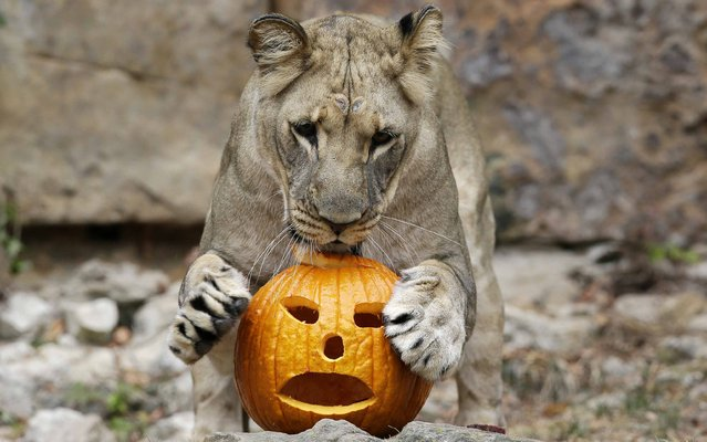 "A lion plays with a carved pumpkin during the Fort Worth Zoo's 24th annual Halloween celebration ""Boo at the Zoo,"" Thursday, October 22, 2015, in Fort Worth, Texas. Meat filled carved pumpkins were placed with the Zoo's African lion display for the big cats to play with and explore. (Photo by L.M. Otero/AP Photo)"