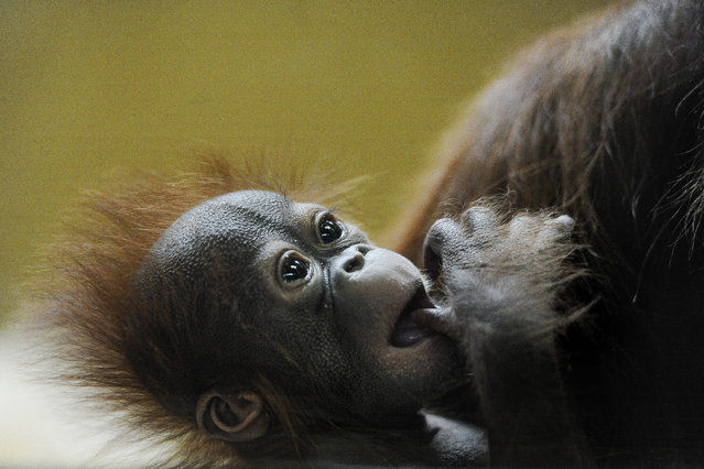 Ember, Cheyenne Mountain Zoo's new baby Bornean orangutan, sucks on her thumb while in the arms of her mother, 18-year-old Hadiah, Thursday, December 11, 2014, in Colorado Springs, Colo. Ember, whose name was announced Tuesday, was born on October 29 at the zoo. Her name means bucket in Indonesian and Malaysian, an allusion to the way keepers reintroduced the baby to her mother after caring for them separately for a time. (Photo by Michael Ciaglo/AP Photo/The Colorado Springs Gazette)