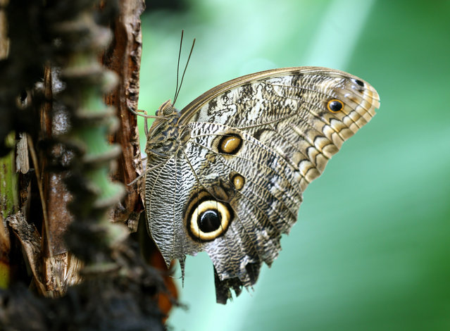 An owl butterfly sits on a banana plant at the tropical house in Krefeld, Germany, 29 April 2013. (Photo by Roland Weihrauch/EPA)