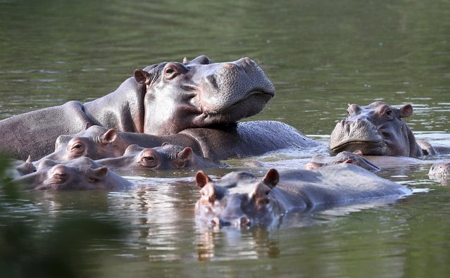 Hippos float in the lake at Hacienda Napoles Park, once the private estate of drug kingpin Pablo Escobar who imported three female hippos and one male decades ago in Puerto Triunfo, Colombia, Thursday, February 4, 2021. After his death in a shootout with authorities in 1993, the hippos were abandoned at the estate due to the cost and logistical issues associated with transporting 3-ton animals and the violence that plagued the area at the time. (Photo by Fernando Vergara/AP Photo)