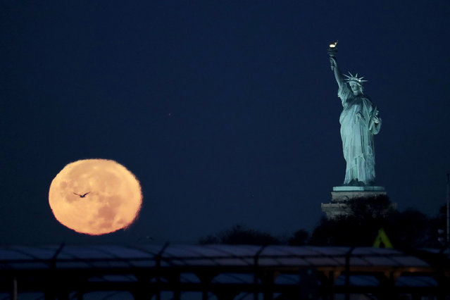 The supermoon appears near the Statue of Liberty, Monday, November 14, 2016, in New York. Monday's supermoon, a phenomenon that happens when the moon makes a close pass at the earth, is the closest to earth since 1948. (Photo by Julio Cortez/AP Photo)