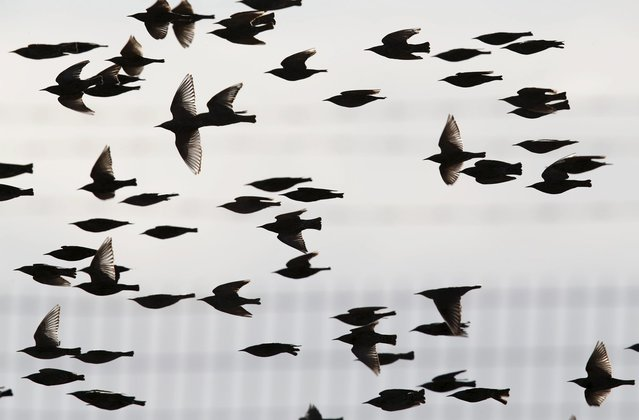 Migrating starlings fly in the sky near the Israeli southern city of Beer Sheva December 28, 2015. (Photo by Amir Cohen/Reuters)