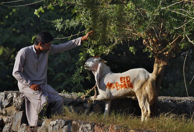 "A Pakistani feeds his goat wearing the words ""Eid Mubarak"" or ""Eid Greeting"", to be slaughtered on the Muslim holiday of Eid al-Adha, or ""Feast of Sacrifice"", in Islamabad, Pakistan on Tuesday, October 15, 2013. Muslims all over the world are celebrating Eid al-Adha by sacrificing sheep, goats, cows and camels, to commemorate the Prophet Abraham's readiness to sacrifice his son, Ismail, on God's command. (Photo by Anjum Naveed/AP Photo)"