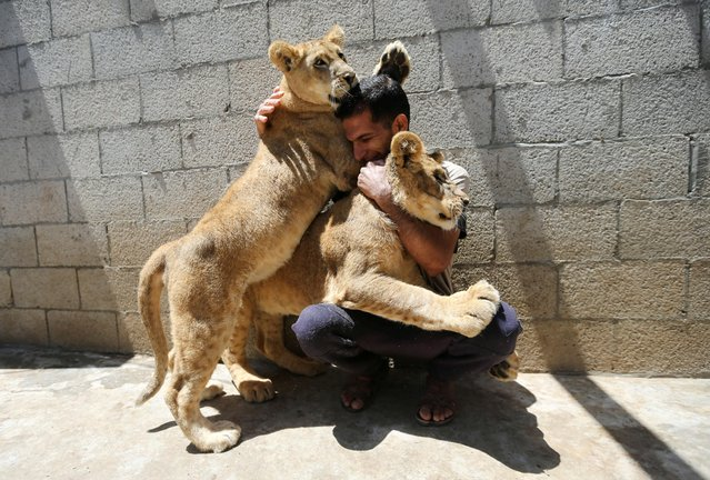 A Palestinian man plays with pet lion cubs on a house rooftop in Khan Younis, in the southern Gaza Strip on May 23, 2021. (Photo by Ibraheem Abu Mustafa/Reuters)