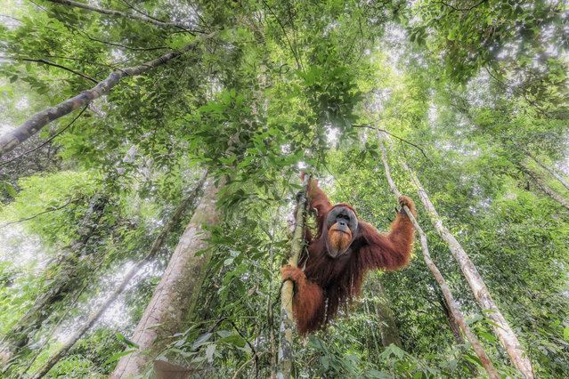 Hanging in the Primary Forest, Indonesia, by Marco Gaiotti. A wild Sumatran orangutan in Gunung Leuser national park, northern Sumatra. This species is critically endangered due to habitat loss through palm oil exploitation and logging. We found this big male while hiking into the forest, and it gradually became confident enough to allow me to take some wide-angle shots. Honourable mention, Animals in their Environment category. (Photo by Marco Gaiotti/SIPA Contest)