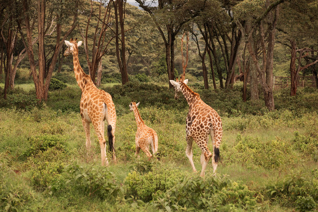 With the introduction of conservation projects, the giraffes have bounced back. (Photo by Klaus Thymann)