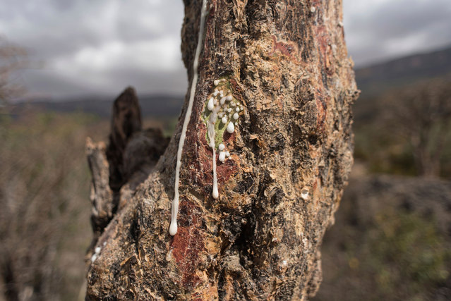 Sap runs out of a frankincense tree near Mader Moge, Somaliland, a breakaway region of Somalia on August 4, 2016. (Photo by Jason Patinkin/AP Photo)