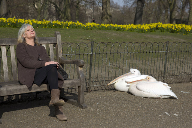 A woman relaxes on a bench next to pelicans basking in the sunshine on a spring day in Saint James Park in central London on March 11, 2015. (Photo by Justin Tallis/AFP Photo)