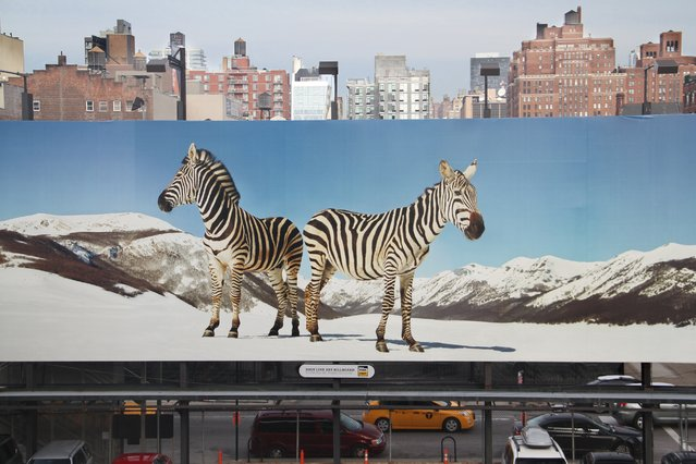 """Surrealistic City View"". It was taken at High Line Park, New York. Two months before I had visited Tanzania, and I was surprised when I suddenly saw a Zebra in New York City! Photo location: High Line Park, New York City, USA. (Photo and caption by Andre Santos/National Geographic Photo Contest)"