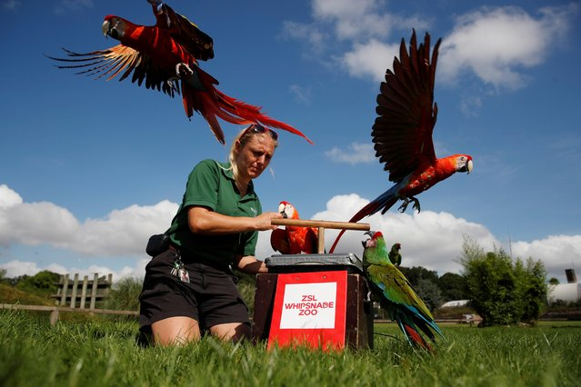 Zoo keeper Liz Brown encourages a Scarlet Macaw to stand on weighing scales at ZSL Whipsnade Zoo 2021 weigh-in and measurement, in Dunstable, Britain, August 24, 2021. (Photo by Matthew Childs/Reuters)