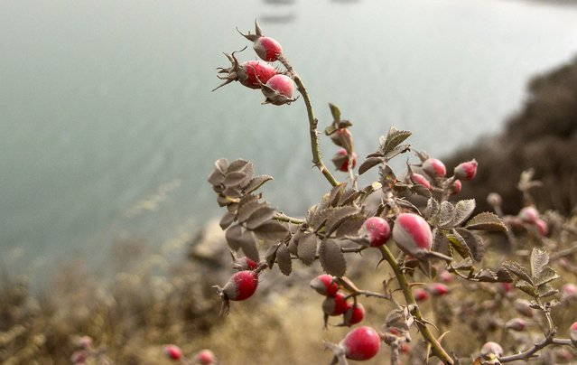 Rosehips are seen covered with ash from the Calbuco volcano in the Patagonian Argentine area of San Martin de Los Andes April 23, 2015. (Photo by Patricio Rodriguez/Reuters)