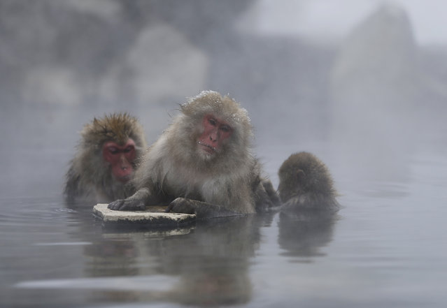Japanese Macaques (or Snow Monkeys) groom each other in a hot spring at a snow-covered valley in Yamanouchi town, central Japan January 20, 2014. (Photo by Issei Kato/Reuters)