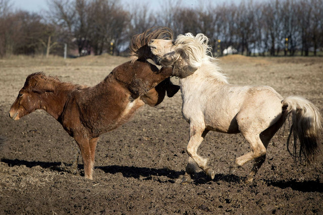 Iceland horses play in their paddock in Obernhain near Frankfurt, Germany, Thursday, March 21, 2019. (Photo by Michael Probst/AP Photo)