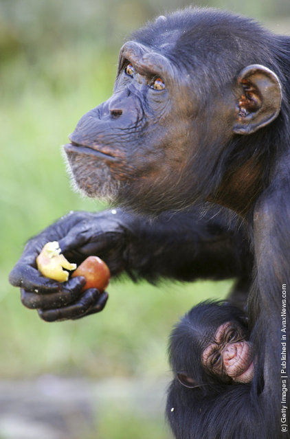 A new female baby chimpanzee is cradled by her mother Shiba as she is welcomed at Sydney's Taronga Zoo