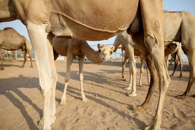 A general view of camels at a farm in Adhen Village, Ras al Khaimah, United Arab Emirates on July 16, 2019. (Photo by Christopher Pike/Reuters)