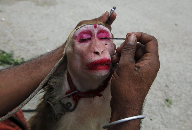 A man applies kohl eye make up to his pet monkey, named Gulabo (pinky), before it performs tricks for money along streets in Karachi, Pakistan, May 31, 2015. (Photo by Akhtar Soomro/Reuters)