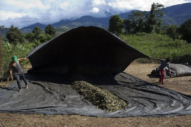 In this June 20, 2015 photo, youth raise a tarp over coca leaves as part of the drying process leaves in Samugari, Peru. Farm owners sell a kilo of leaves for $3.50 to wholesalers who supply drug traffickers. That's more than twice what farmers would earn for coffee or cacao. (Photo by Rodrigo Abd/AP Photo)