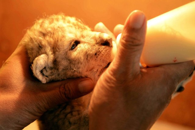 This picture taken on April 28, 2014 shows a new-born African lion cub sucking milk in Qingdao Forest Wildlife World in Qingdao, east China's Shandong province. Five new lion cubs were born last week at the wildlife park. (Photo by AFP Photo)
