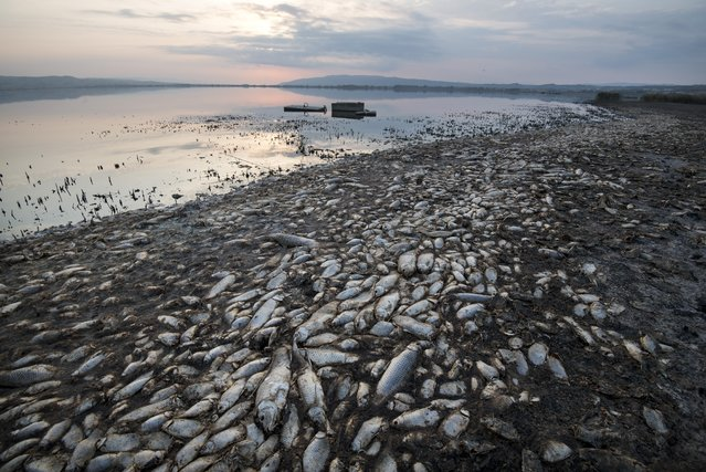 Dead fish lie on the shores of Koroneia Lake in northern Greece, on Thursday, September 19, 2019. Tens of thousands of dead fish are washing up as the water level has plummeted to less than a meter deep (three feet) and the lack of oxygen in the water is leading to mass mortality of everything in it. (Photo by Giannis Papanikos)/AP Photo