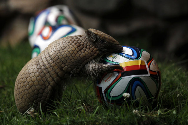 The armadillo called Norman, Germany's World Cup oracle, approaches the soccer ball representing Germany as he makes his prediction for the team's opening World Cup match against Portugal on June 16, at the zoo in the western city of Muenster June 13, 2014. (Photo by Ina Fassbender/Reuters)