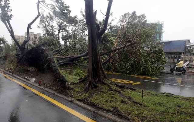 A motorcyclist rides past trees uprooted by strong winds from Typhoon Soudelor in Taipei, Taiwan, August 8, 2015. (Photo by Pichi Chuang/Reuters)