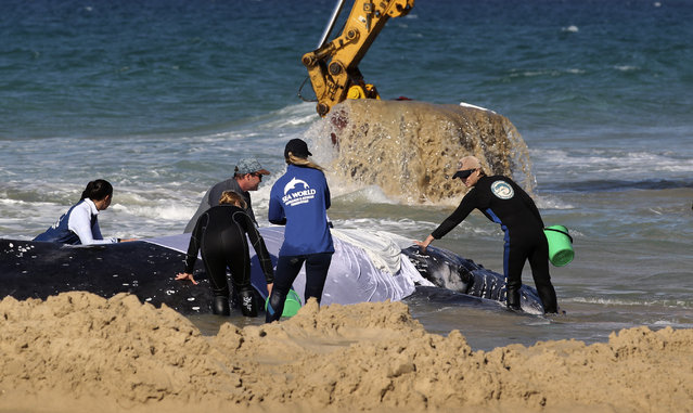Marine rescue workers from Sea World attempt to help a juvenile humpback whale stranded at Palm Beach on the Gold Coast, in Queensland July 9, 2014. (Photo by Jason O'Brien/Reuters)