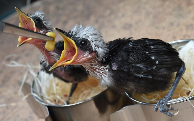 Two approximately three week-old black and white laughingthrush birds are feeded on July 7, 2014 in Walsrode Bird Park, Germany. (Photo by Holger Hollemann/AFP Photo/DPA)