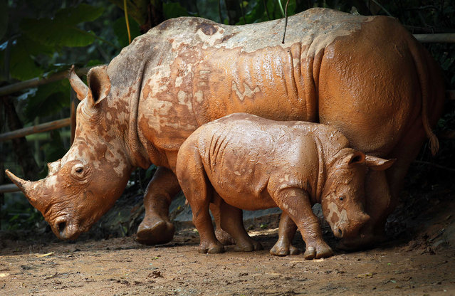 A mud covered 3-month-old male African Southern Rhino named Jumaane, wanders around his enclosure with his mother Shova at the Singapore Zoo