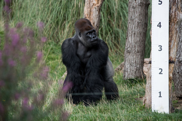 Silverback gorilla Kumbuka is seen in an enclosure during a photocall at London Zoo on August 24, 2017, to promote the zoo's annual weigh-in event. (Photo by Chris J. Ratcliffe/AFP Photo)