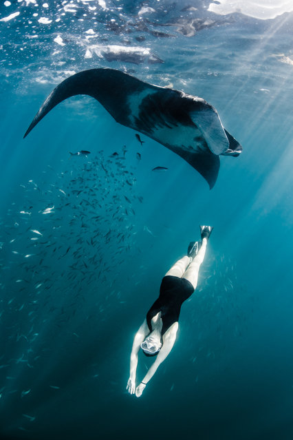 Model, skydiver and wing-suit jumper Roberta Mancino, 33, swims with a manta ray on February 2014 in Isla Mujeres, Mexico. A female skydiver swims with whale sharks, manta rays and sailfish – the fastest fish in the sea. Model, skydiver and wing-suit jumper Roberta Mancino, 33, jumped from a boat into the ocean surrounding Isla Mujeres near the northern Peninsula of Mexico. The incredible project involved two trips to the stormy winter seas – one in February 2013 and one a year later in February 2014. (Photo by Shawn Heinrichs/Barcroft Media)