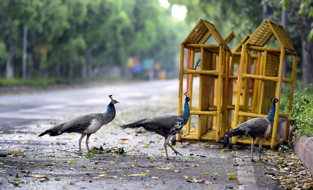 Peahens seen at Motilal Nehru Marg during lockdown to curb the spread of coronavirus, on April 19, 2020 in New Delhi, India. (Photo by Arvind Yadav/Hindustan Times via Getty Images)