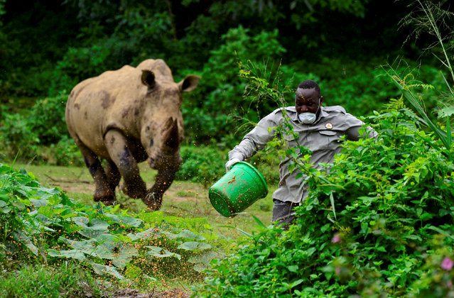 Steven Busulwa, an animal keeper, runs away from a charging rhino at the Uganda Wildlife Conservation Education Center (UWEC) amid the lockdown as part of the measures taken to prevent the spread of the coronavirus disease (COVID-19), within Wakiso district, in Entebbe, Uganda on April 20, 2020. (Photo by Abubaker Lubowa/Reuters)