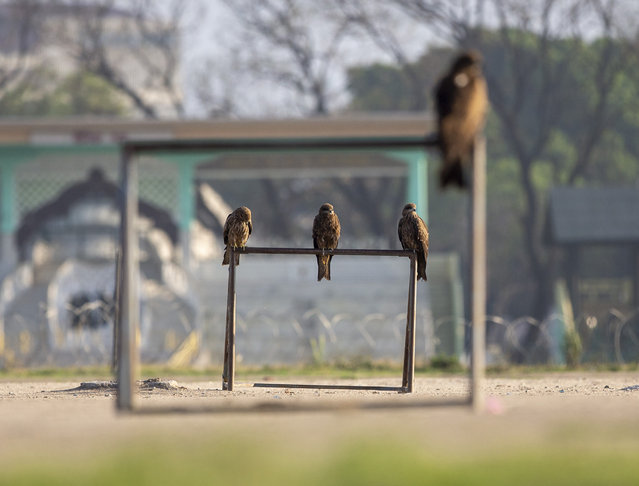 Eagles sit on the goal post of a open green play space called Tudhikhel, during the 28th day of a nationwide lockdown in Kathmandu, Nepal, 20 April 2020. Due to the lockdown in place during the coronavirus pandemic, peoples' are not able to congregate in public spaces, so animals, like the pictured black kite eagles, are spotted in open spaces in Kathmandu, stated bird photographer Om Yadav. Nepal has been under a nationwide lockdown since 24 March 2020, in an effort to combat the spread of the novel coronavirus SARS-CoV, which causes the COVID-19 disease. (Photo by Narendra Shrestha/EPA/EFE)