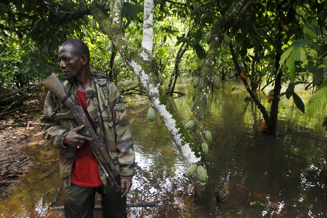 An agent of the OIPR, one of the government agencies charged with managing protected land, stands next to cocoa trees inside Mont Peko National Park in Duekoue department, western Ivory Coast August 18, 2015. (Photo by Luc Gnago/Reuters)