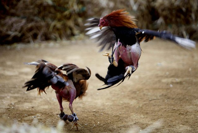 Roosters fight during a cockfight in Quito, Ecuador. Ecuador's President Rafael Correa has called a referendum asking Ecuadoreans to ban bullfighting, cockfighting and other pursuits where animals are killed for human entertainment. (Photo by Dolores Ochoa/Associated Press)