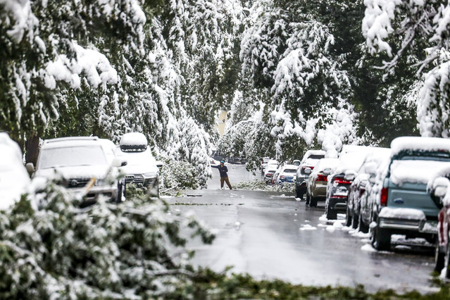 A man attempts to clear branches of snow during an early season winter storm on September 9, 2020 in Boulder, Colorado. The storm brought more than five inches of snow to areas along Colorado's front range, but temperatures are expected to return to the 80s this weekend, according to the National Weather Service. (Photo by Michael Ciaglo/Getty Images)