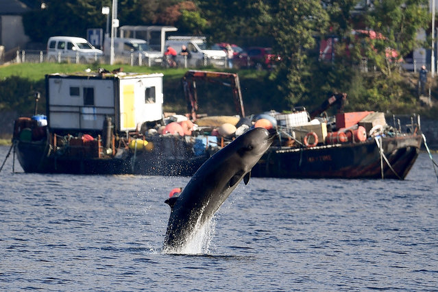 One of three Northern Bottlenose whales swims near Garelochhead, Argyll and Bute on September 29, 2020 in Garelochhead, Argyll and Bute. Three northern bottlenose whales have been stuck in Gare Loch near Faslane Naval Base, apparently unable to find their way back to the North Atlantic. (Photo by Jeff J. Mitchell/Getty Images)