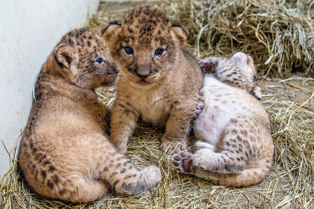 In this October 8, 2015 photo provided by Jackie Curts are three African lion cubs born at the Indianapolis Zoo. Zoo officials said Tuesday, October 20, 2015, that the one female and two male cubs, born September 21 to first-time parents, mother Zuri and father Nyack, are nursing well and growing. They are expected to make their public debut next spring. (Photo by Jackie Curts/Indianapolis Zoo via AP Photo)