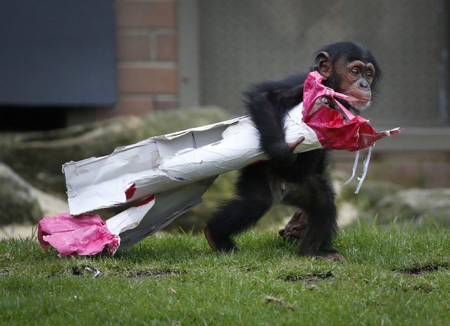 "A 13-month-old chimp named Fumo carries a ""Christmas present"" of food treats in wrapping paper under his arm during a Christmas-themed feeding time at Sydney's Taronga Park Zoo, December 9, 2014. Fumo, meaning ""chief"" or ""spear"" in Swahili, is one of the latest additions to the zoo's successful primate breeding program. (Photo by Jason Reed/Reuters)"