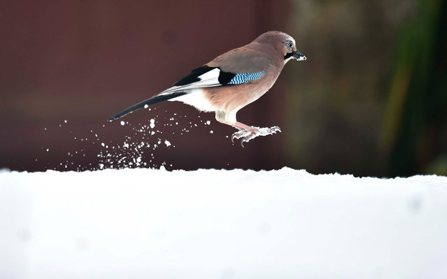 "A jay, a bird in the crow family ""Corvidae"", bounces in the snow in Kielder Forest, north eastern England, as snow sweeps across the area, Thursday, December 11, 2014. Thousands of homes are still without power after gales and lightning strikes caused by a so-called ""weather bomb"" swept the north of the country. (Photo by Owen Humphreys/AP Photo/PA Wire)"