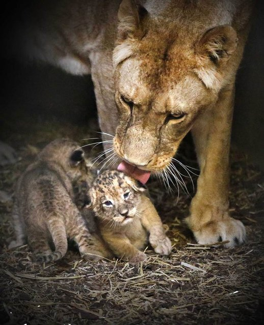 Lioness Tia licks one of her cubs as they huddle close together in their enclosure at Emmen Zoo in the Netherlands on April 27, 2013. The four cubs were born on April 7. (Photo by Catrinus Van Der Veen/EPA)