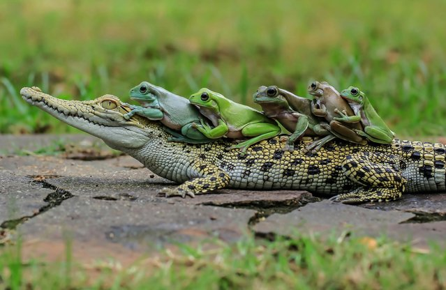 Clearly comfortable in the croc's company the amphibians wait patiently for their chauffeur to move. But the bemused crocodile doesn't appear to be going anywhere in a hurry. The hilarious images were captured by Tanto Yensen, 36, from Jakarta, Indonesia. (Photo by Tanto Yensen/Media Drum World Photo Agency)