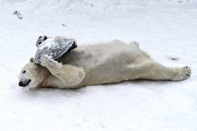 Two-year-old polar bear Hertha plays with a plastic bowl in the snow at the zoo in Berlin, Germany, Tuesday, February 9, 2021. (Photo by Kira Hofmann/dpa via AP Photo)