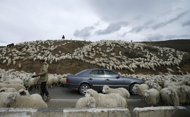 A car is surrounded by sheep as they return home from grazing fields outside Tbilisi, Georgia, November 11, 2015. Twice a year, in spring at the start of the grazing season and in  autumn at season's end, herds of sheep cross the country during a long march of hundreds of kilometres. (Photo by David Mdzinarishvili/Reuters)