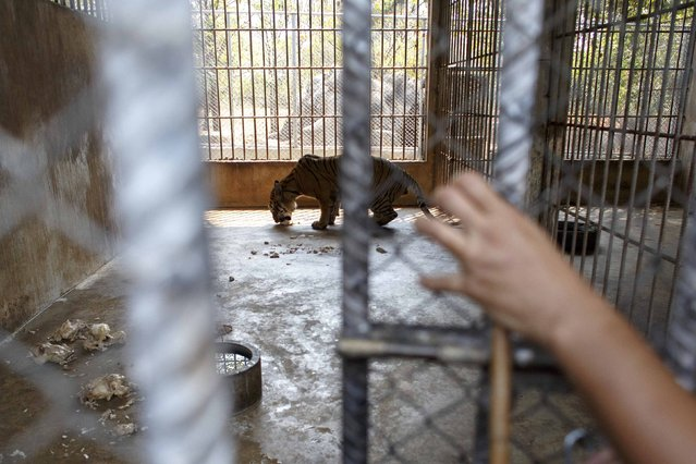 A volunteer opens a cage in which a tiger is eating at the Wat Pa Luang Ta Bua, otherwise known as the Tiger Temple, in Kanchanaburi province February 12, 2015. (Photo by Athit Perawongmetha/Reuters)