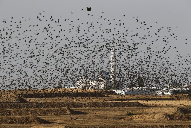 Migrating starlings fly outside a Bedouin village in southern Israel December 28, 2015. (Photo by Amir Cohen/Reuters)
